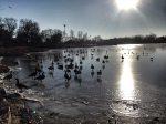 Humboldt Park Ducks on Pond